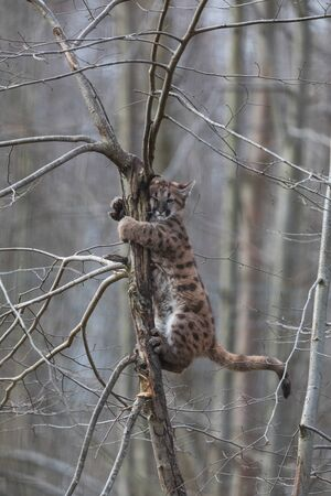 Puma in the forest