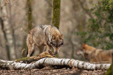 Grey wolf in the forest Foto de archivo