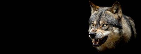 Grauer Wolf mit schwarzem Hintergrund