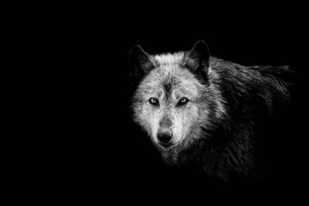 Black wolf with a black background Stock fotó