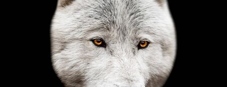 White wolf with a black background