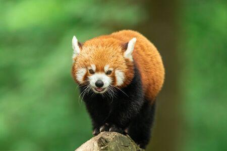 Panda rojo caminando en el árbol