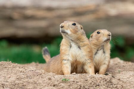 Prairie dog in the meadow