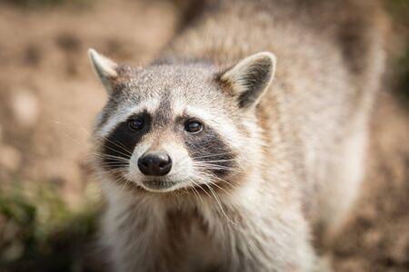 Portrait of a raccoon in the meadow
