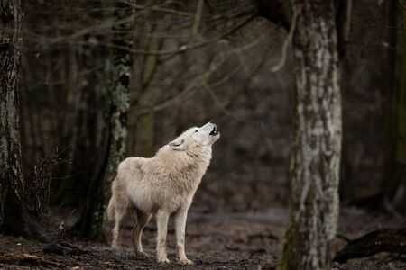 White wolf in the forest