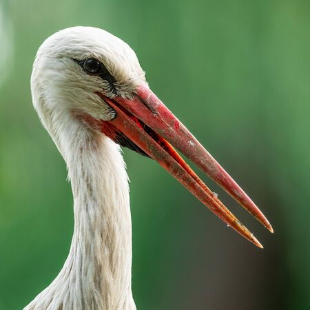 White stork in the forest. Alsace. Standard-Bild