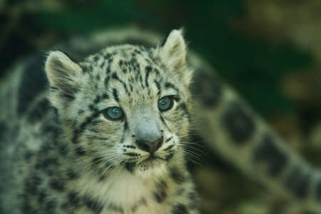 Portrait of young snow leopard Archivio Fotografico
