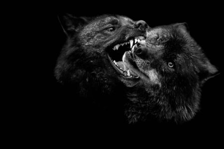 Two Black wolf fighting with a black background