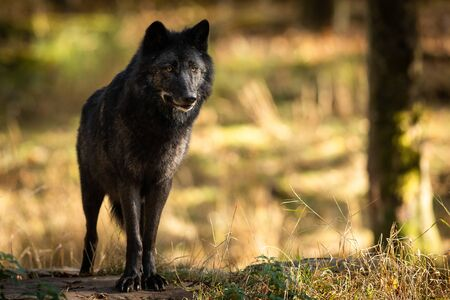 Black wolf in the forest Stockfoto