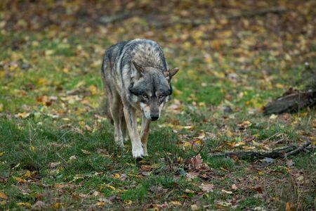 Grauer Wolf im Wald Standard-Bild
