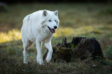 White wolf in the forest Stockfoto