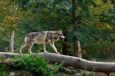 Grey wolf in the forest 版權商用圖片