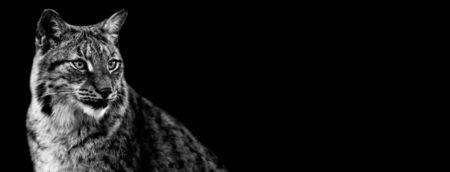 Lynx avec un fond noir