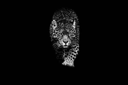 Jaguar z czarnym tłem
