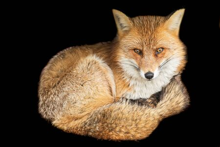 Czerwony lis na czarnym tle
