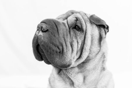 Portrait of a sharpei with a white background