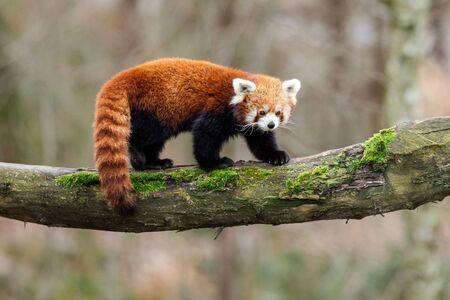 Red panda walking on the tree Banco de Imagens