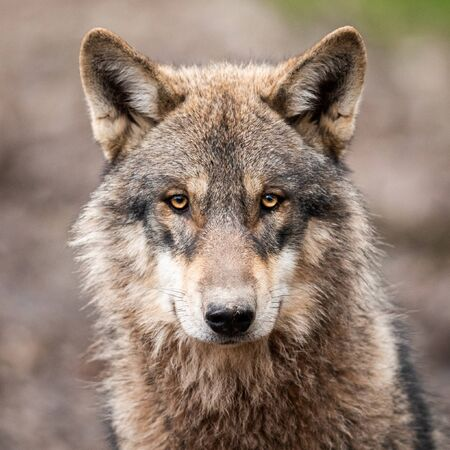 Portrait of grey wolf in the forest Stock fotó