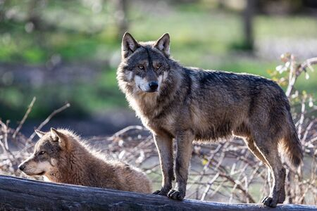 Grey wolf in the forest Stock Photo