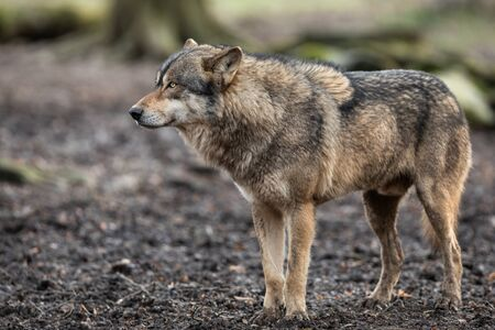 Grey wolf in the forest Stockfoto
