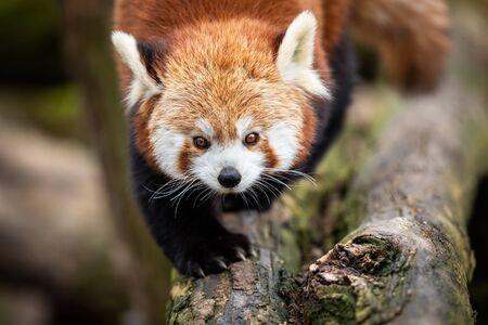 Red panda walking on the tree Foto de archivo