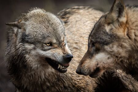 Portrait of Angry grey wolf in the forest