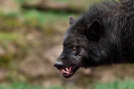 Portrait of a angry timberwolf