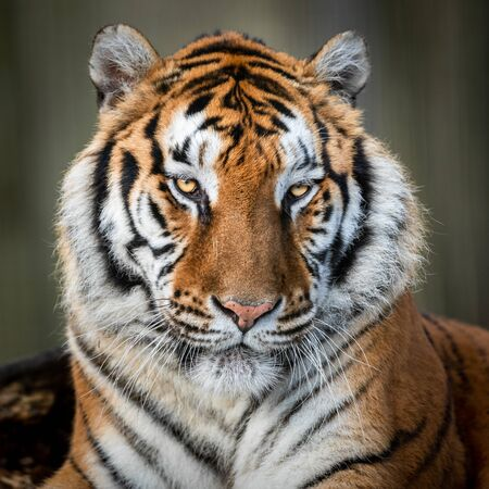 Portrait of a tiger in the forest
