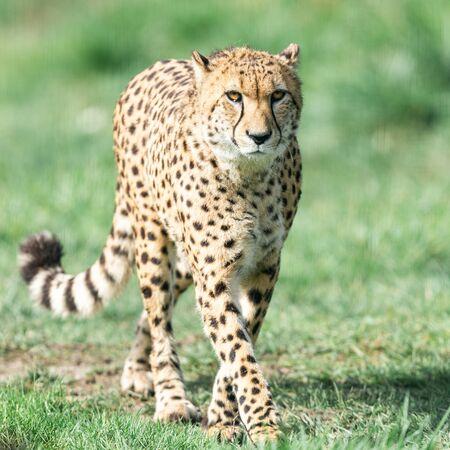 A Guepard walks on the meadow