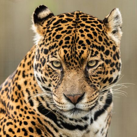 Portrait of a jaguar in the forest Stockfoto