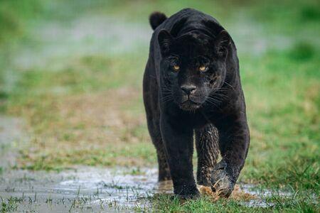 Ritratto di un giaguaro nero nella foresta