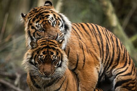 mating of two tigers in the forest Stockfoto