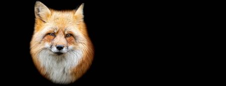 Template of Red fox with a black background
