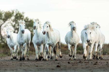 Camargue Horses in the south of France Standard-Bild