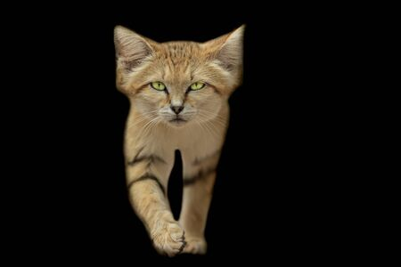Sand cat with a black background