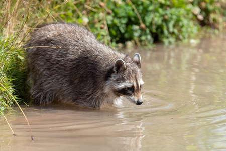 Raccoon swimming in the lake