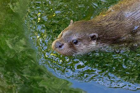 European Otter swimming in the lake