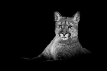 Puma with a black background Archivio Fotografico
