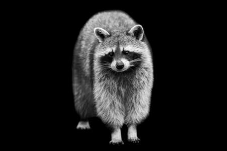 Raccoon with a black background