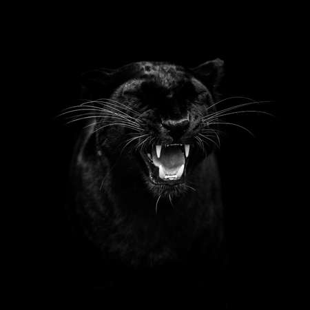 Portrait of a black panther with a black background Stock Photo
