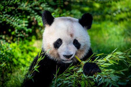 Panda eats bamboo in the forest Foto de archivo
