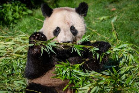 Panda eats bamboo in the forest
