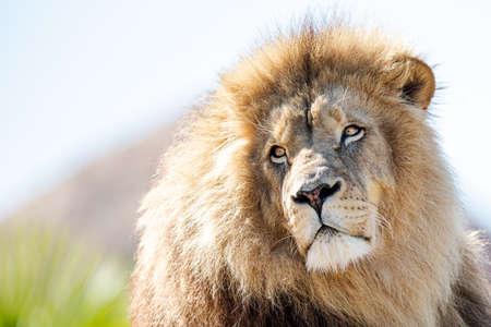 Portrait of Lion in the forest Foto de archivo