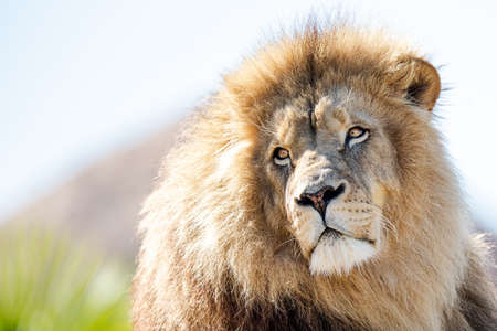 Portrait of Lion in the forest Stock Photo