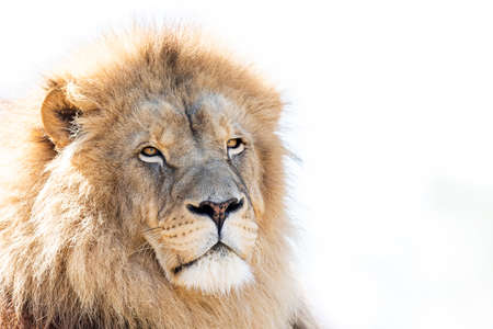 Portrait of Lion in the forest