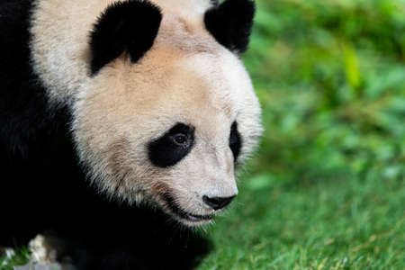 Panda walking in the forest