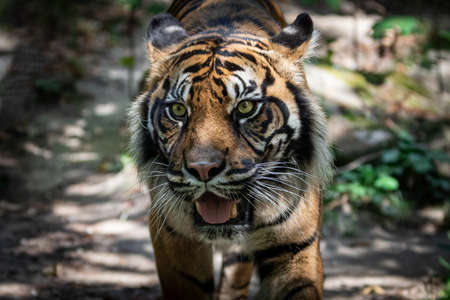 Tiger walking in the forest
