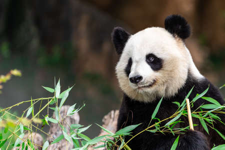 Panda eats bamboo in the forest Stock Photo