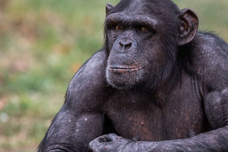 Chimpanzee resting in the forest Stock Photo