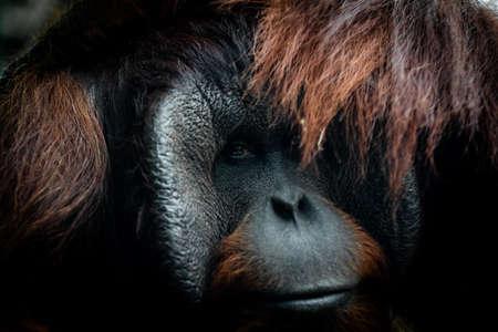 Portrait of orang-utan in a dark atmosphere
